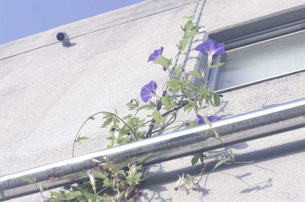 asagao2011.jpg