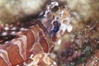 lionfish2.jpg