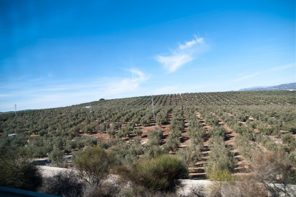 olive orchard.head for Maraga from Granada by bus.